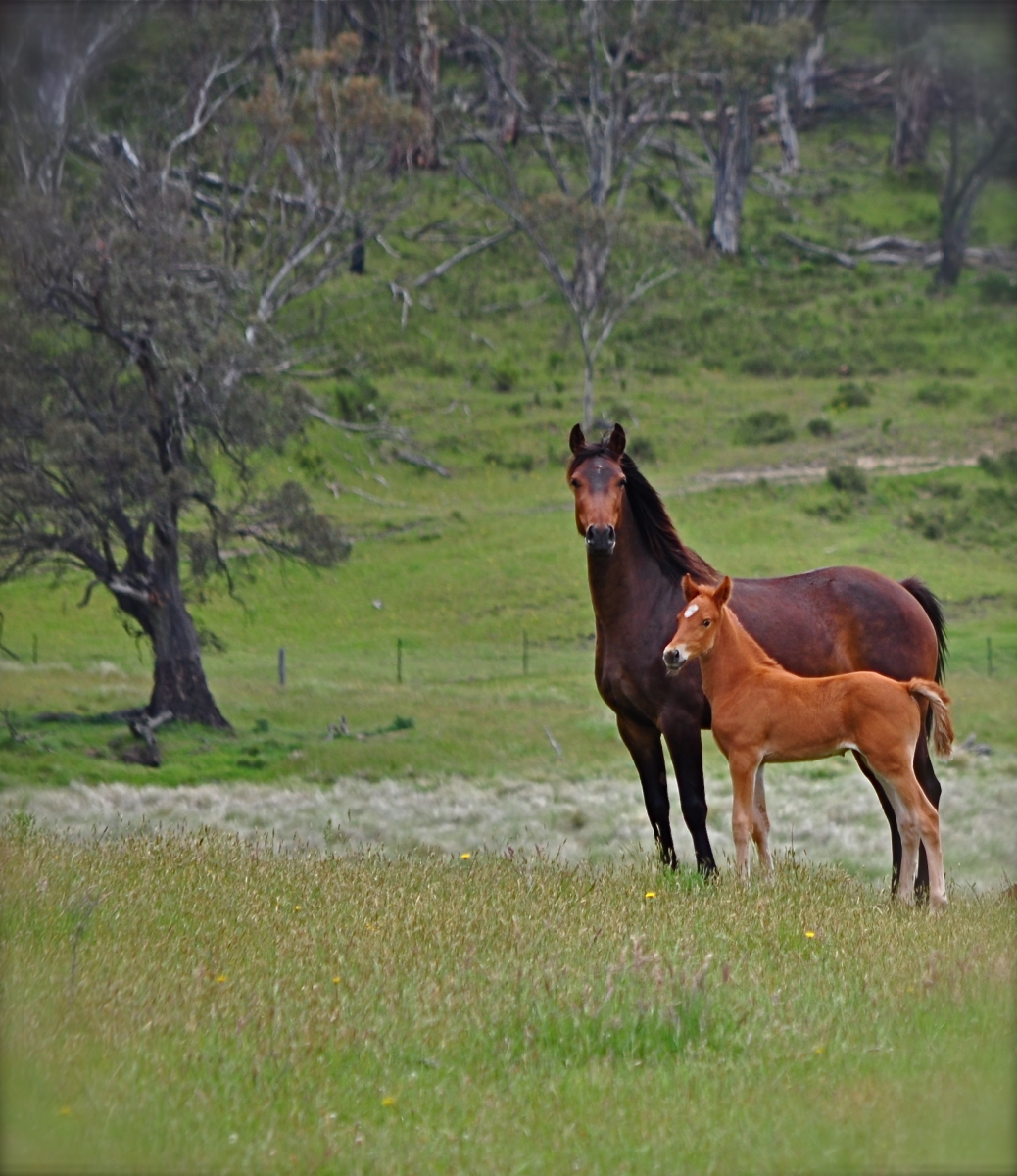 Wild Brumbies near Moonbah Huts