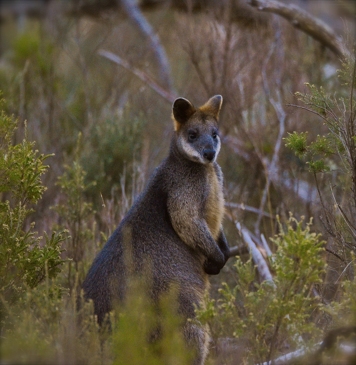 Cute little nearby resident Wallaby at Moonbah Huts