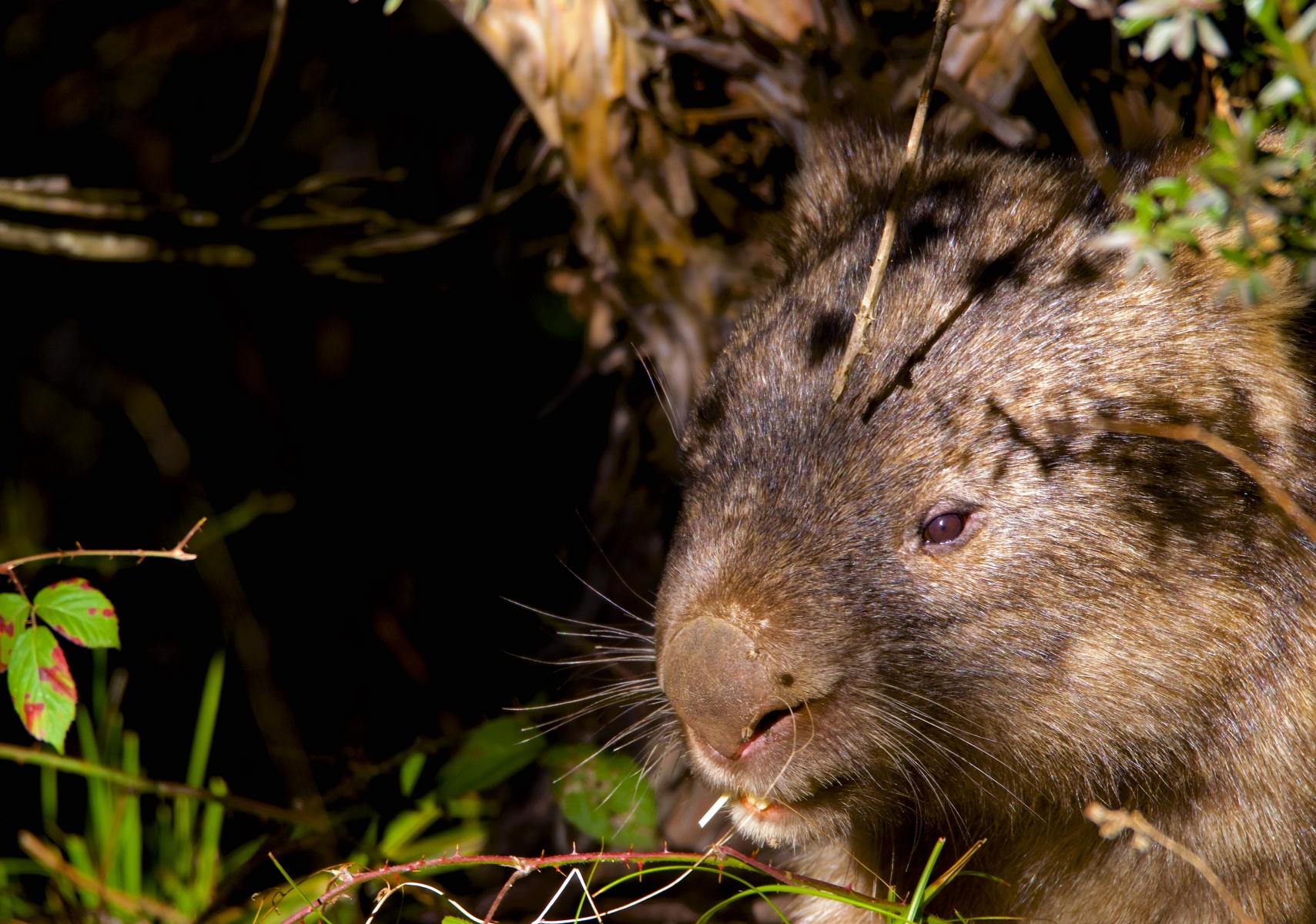 Resident Wombat at Moonbah Huts