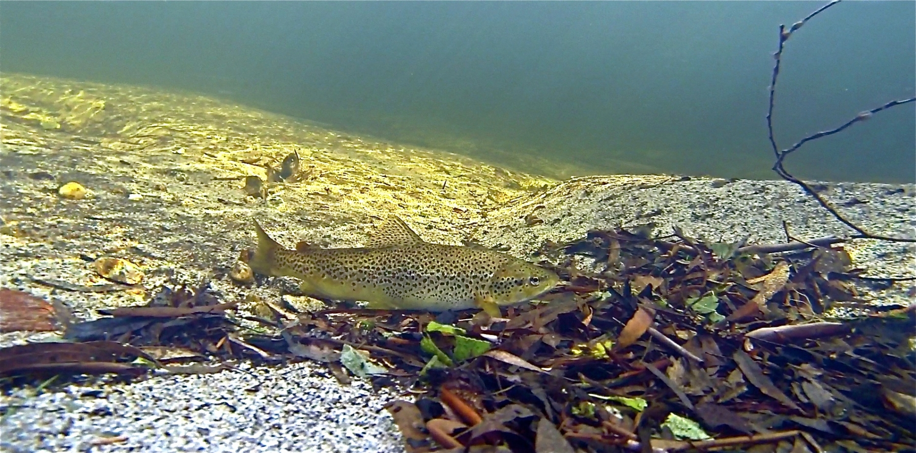Brown trout Moonbah River