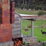 The wild fallow deer wander freely, feeding amongst the green paddocks at Moonbah Huts