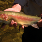 Rainbow Trout caught in the Moonbah River near Moonbah River Hut